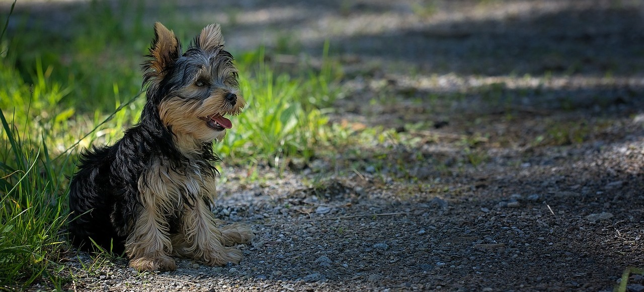 jorkširski-terijer-pas